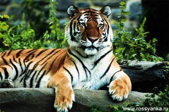 Глаза тигра 2