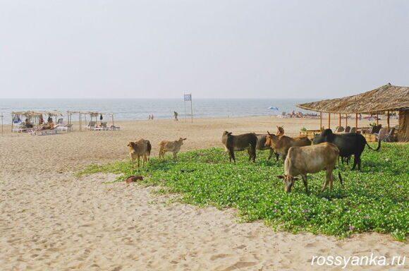 Пляж Кандолим (21)Кандолим Гоа